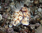 Two nudibranchs, one with stub rhinophore