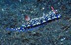 Blue nudibranch on sand