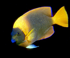 Adult Clarion angelfish from Socorro Island.