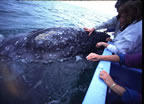 Gray whale snuggling panga at Laguna San Ignacio - Pam's hands in foreground