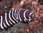 Zebra moray eel at Los Islotes