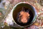 Tube Blenny face