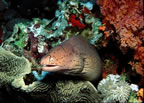 Spotted eel on reef
