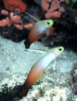Two fire gobies